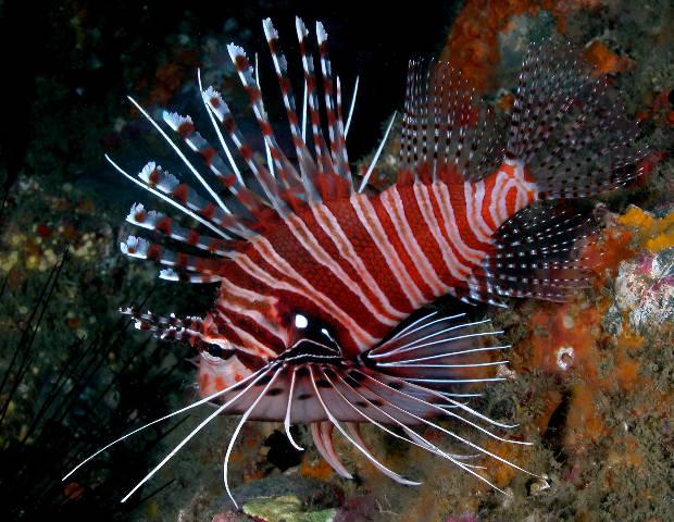 Nasti4ka, крылатки - красивые рыбки!