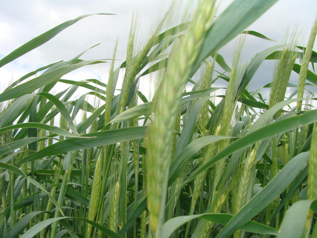 Triticosecale, от лат. triticum - пшеница и лат. secale - рожь) - гибридный род злаков, гибрид ржи и пшеницы.