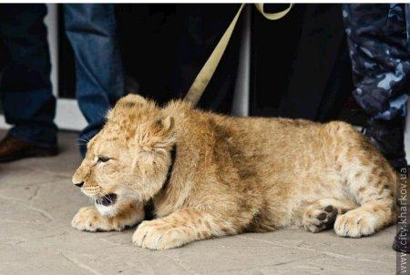Харьковскому зоопарку подарили львенка Ричи (+ фото)